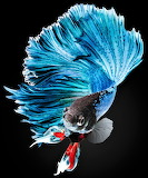 #Elegant Blue Half Moon Betta Fish
