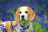 BeagleInBluebells