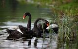 Swans, black, river, sea, nature