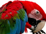 ^ Red and green macaw