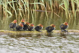 a group of young coots