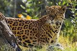 Handsome Jaguar