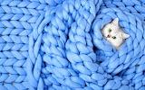 White kitten in blue wool