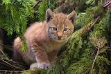 Leśny kotek