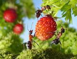 Fragaria Ants Closeup lolita777 515872 1345x1024