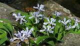 Wildflower Dwarf Iris