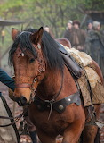 Brimstone from Outlander - Claire's horse