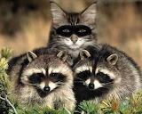 Raccoon Imposter