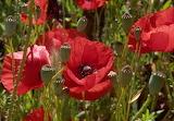 Poppies Closeup Flower-bud 523572 1280x887