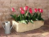 pinks tulips