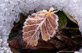 """""""Lenga Leaf covered with frost"""" """"Autumn in Patagonia"""" """"© Gerhard"""