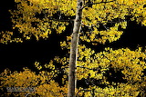 Jason Savage Photography Aspen Tree