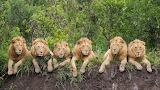 Seis leones