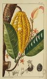 Plant de cacao avec cabosse D 15130
