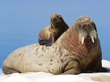 Mother and Baby Walrus