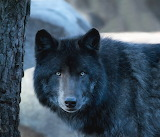 Dogs - Timber wolf