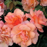 ^ Apricot Candy™ rose