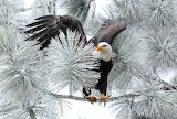 eagle on iced tree