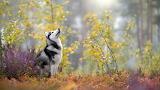 Siberian-husky-autumn-forest
