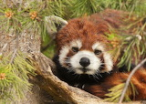 Did I Wake You? (Red Panda)