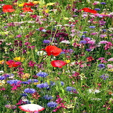 Flowers - wildflower field