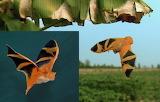 Endangered Species – Butterfly Bat