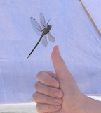 Giant Dragonfly in Tent