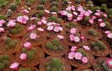 cacti flowering pots