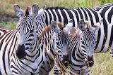 Zebras~Masai Mara, Kenya