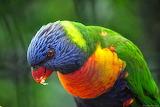 Lloro - Parrot