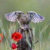 ^ Little Owl