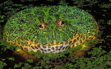 """Animals tumblr myfrogcroaked """"Argentine horned frog"""" """"Ceratophry"""
