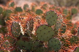 Opuntia spin