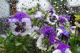 Pansies outside the window in the rain