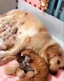Dog & Cat Nurse Kittens Together