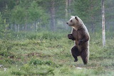 Bears - Snack time