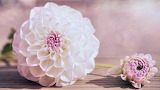 Dalia bianca e rosa