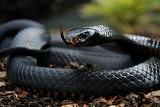 Black-Snake-mamba