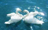 Cisnes en pareja