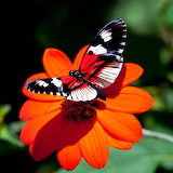 Red Flower Butterfly...