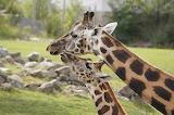 Giraffe-4638681 1920