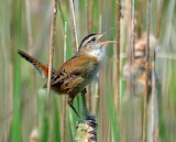 Marsh Wren Singing on a Cattail