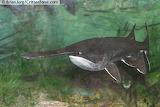 Missouri State Aquaic Animal