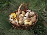 Edible_fungi_in_basket