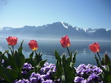 Tulipes-lac