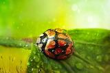 ladybug / ladybird