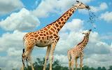 Giraffe family...