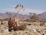Aloe hereroensis Engl