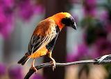 Bright Finch