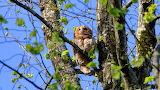 Der Waldkauz (owl)
